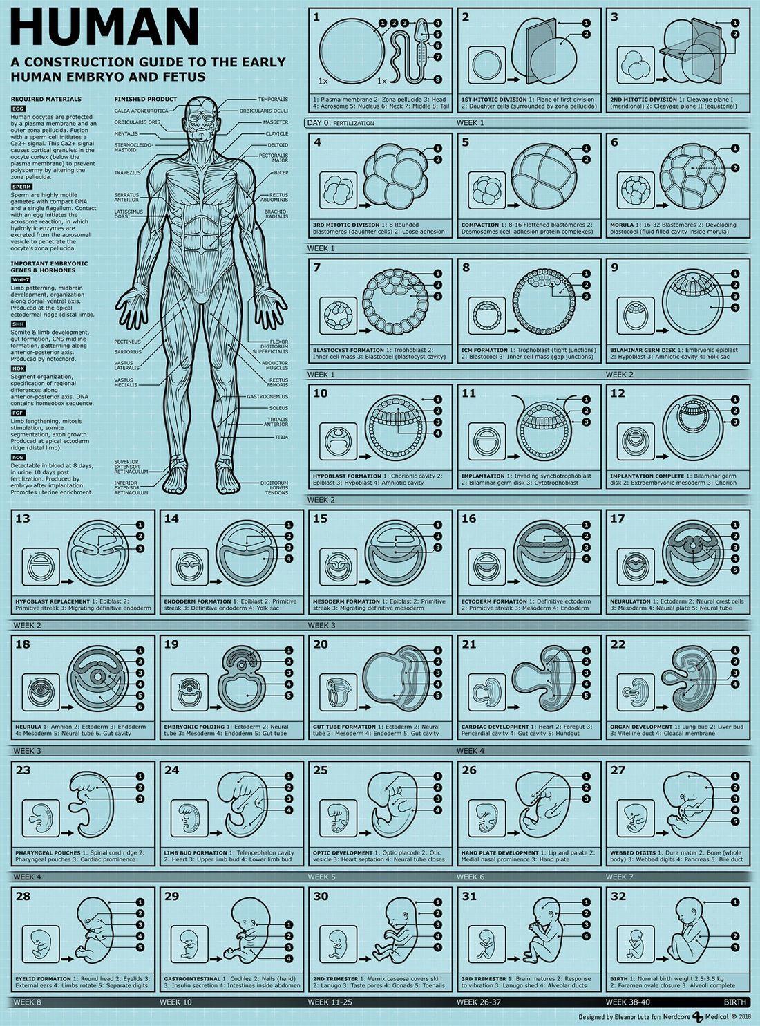 Как формируется человек от сперматозоида до рождения, инфографика