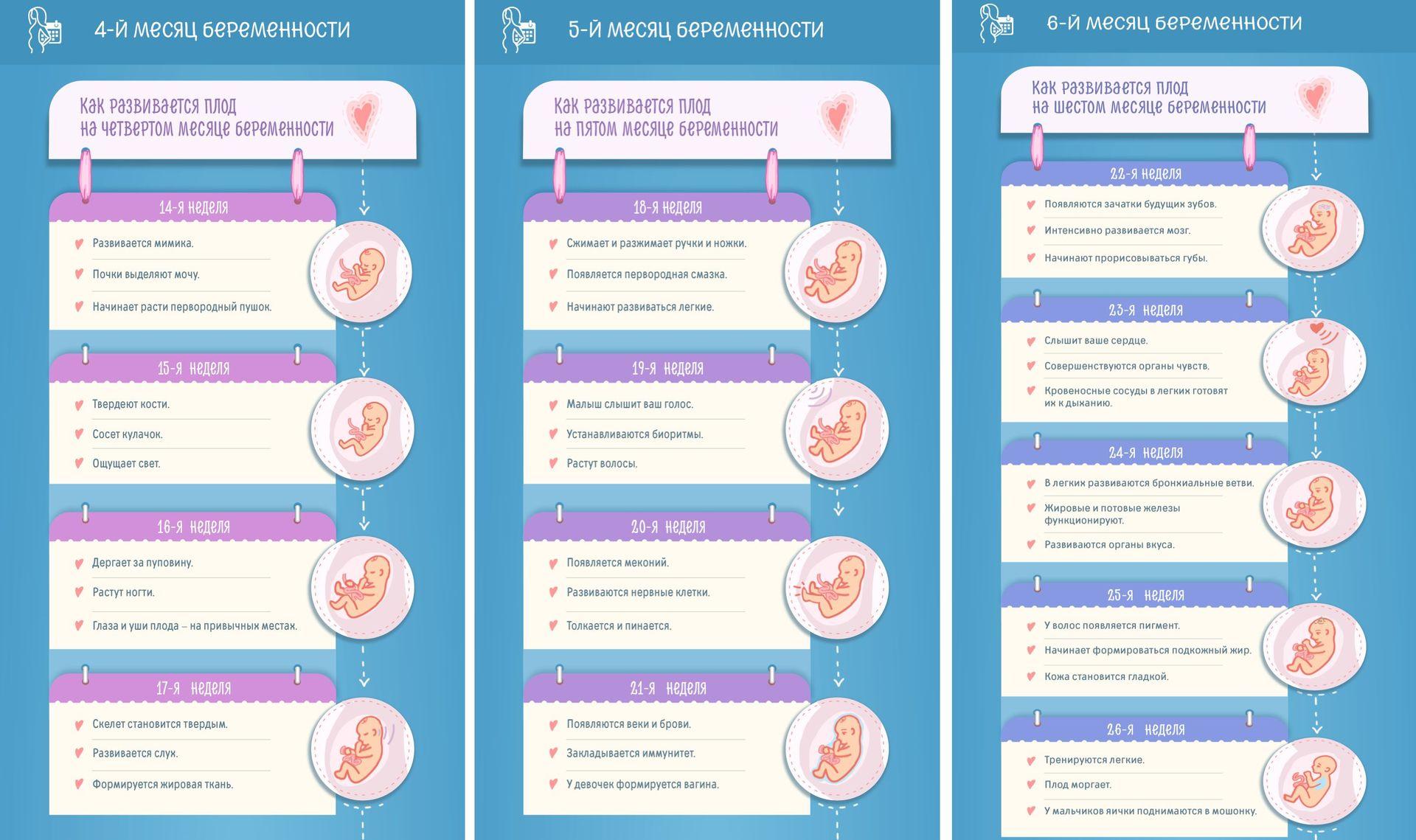 Развитие плода по неделям с четвертого по шестой месяц беременности, инфографика