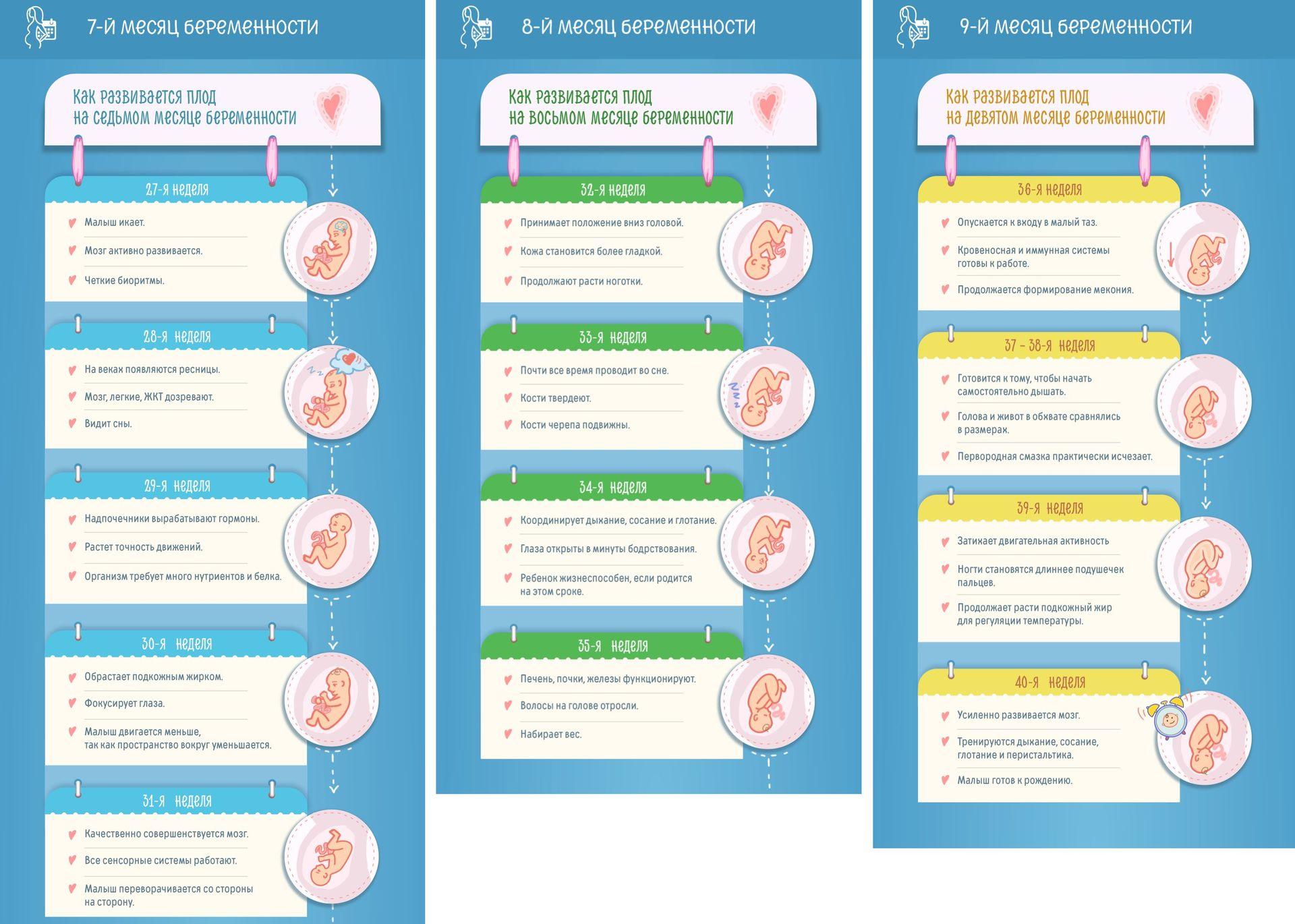 Инфографика развития плода по неделям с седьмого по девятый месяцы беременности