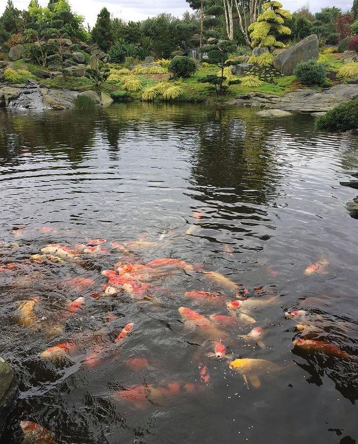 Японские карпы кои в пруду экзотического парка в Норвегии