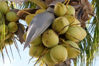Спелые кокосы на пальме
