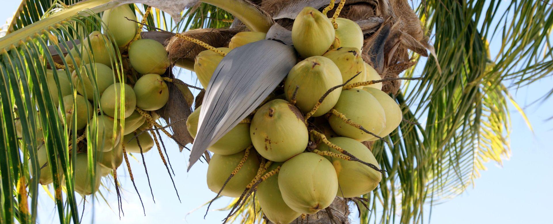 Что внутри кокоса — вода или молоко?