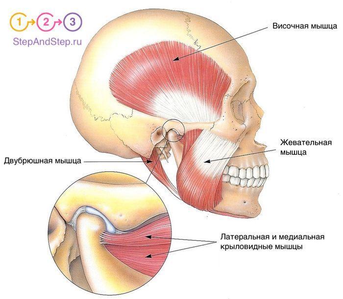 Жевательные мышцы человека