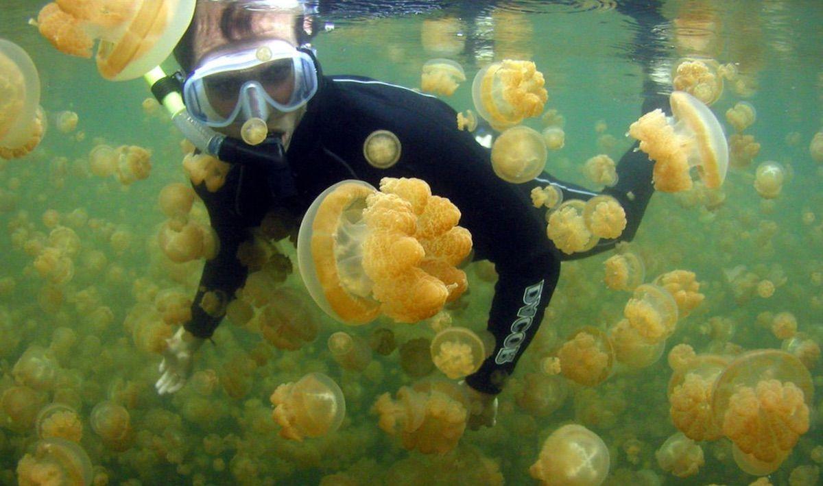 Золотая медуза Mastigias papua
